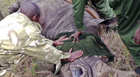 Microchips Protect Kenya's Rhinos from Poachers