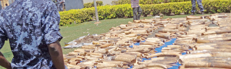 Africa Surpasses Asia in Ivory Seizures