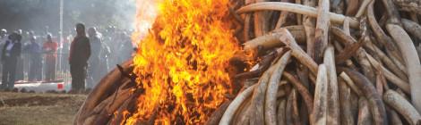 Ethiopia, Kenya torch Tons of Ivory