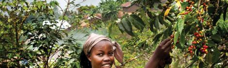 Congo Coffee Looks to Make a Comeback