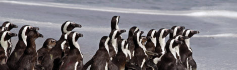 South Africa Looks  to Save Penguins