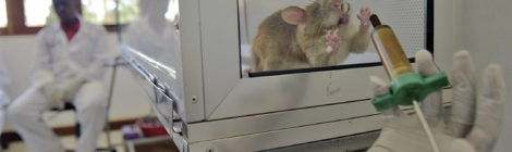 Bomb-Sniffing Rats  Check for Tuberculosis