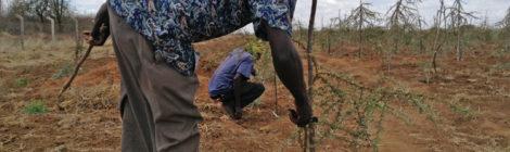 LE KENYA PLANTE DES ARBRES PLUS RÉSISTANTS POUR CONTRER L'AVANCÉE DU DÉSERT