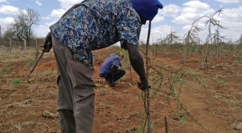 Kenya Plants Tougher Trees to Hold Back Desert