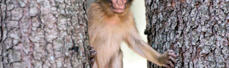 Morocco Fights to Save Iconic Monkey