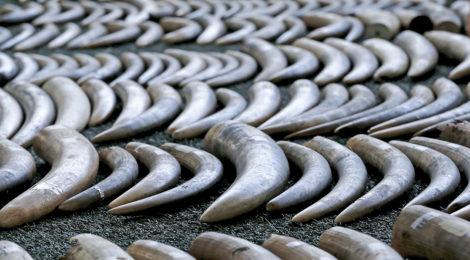 Task Force Dismantles Ivory Smuggling Ring