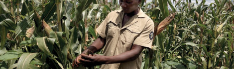 Zambian Farmers Trying Weather-Based Insurance