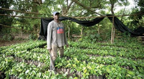 Coffee Farming Takes Root in Ghana